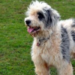 Old English Sheepdog and Bearded Collie mix