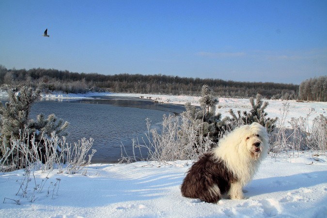 Old English Sheepdog in snow wallpaper
