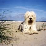 Old English Sheepdog on beach