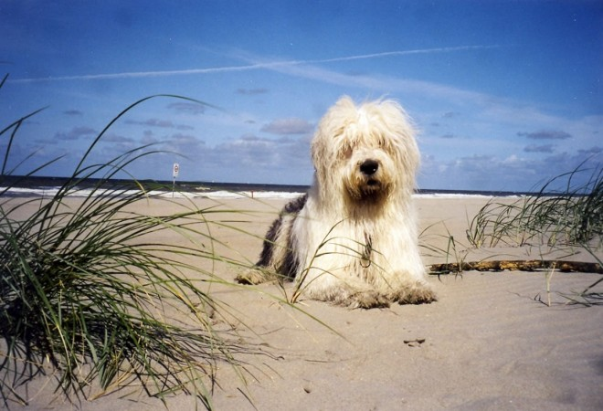 Old English Sheepdog on beach