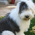 Old English Sheepdog on grass