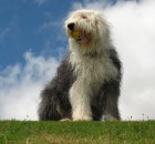 Old English Sheepdog portrait