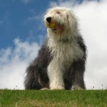 Old English Sheepdog portrait