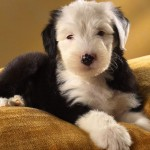 Old English Sheepdog puppy wallpaper