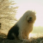 Old English Sheepdog wallpaper (2)