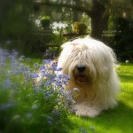Old English Sheepdog wallpaper (3)