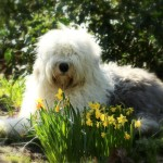 Old English Sheepdog wallpaper (4)