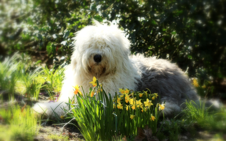 Dog That Looks Like A English Sheep Dog