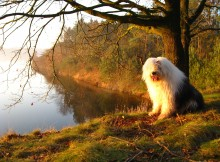 Old English Sheepdog wallpaper (5)