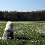 Old English Sheepdog wallpaper (6)