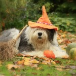 Old English Sheepdog wallpaper (7)