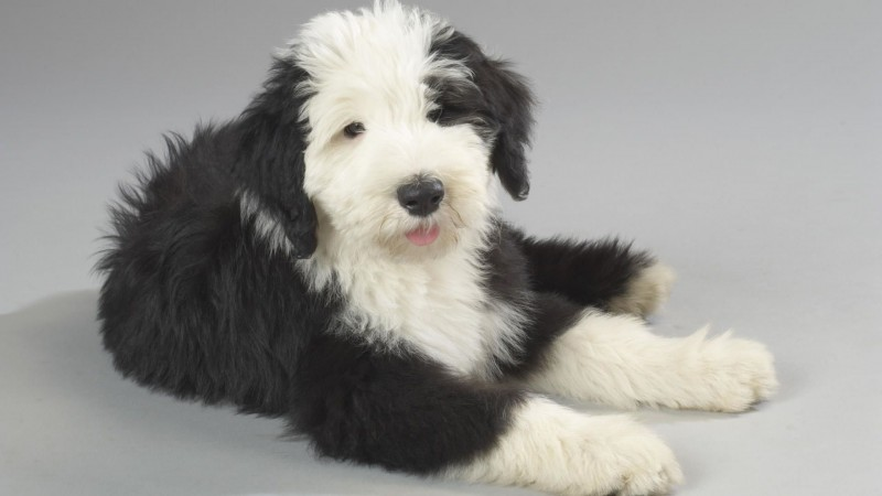 Old English Sheepdog wallpaper