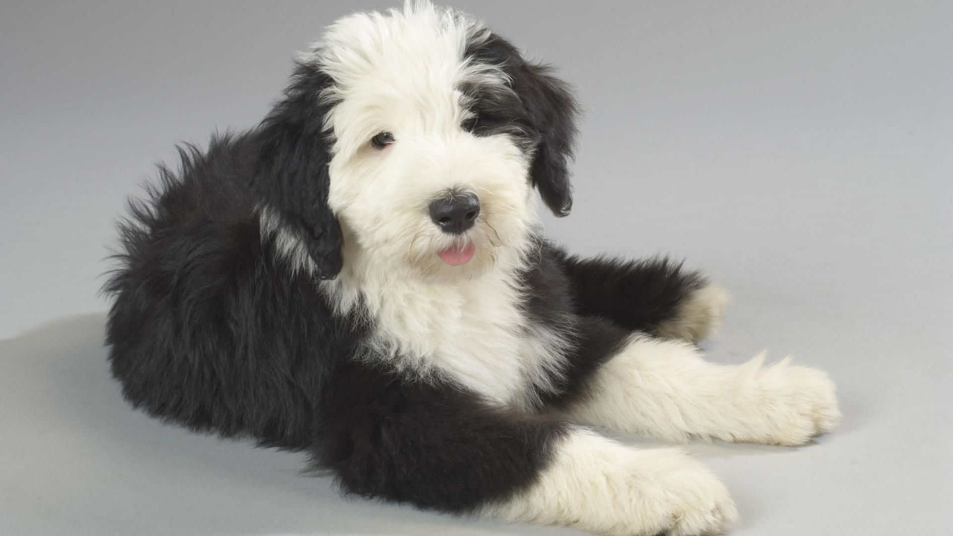 Old English Sheepdog - My Doggy Rocks Bearded Collie Coat