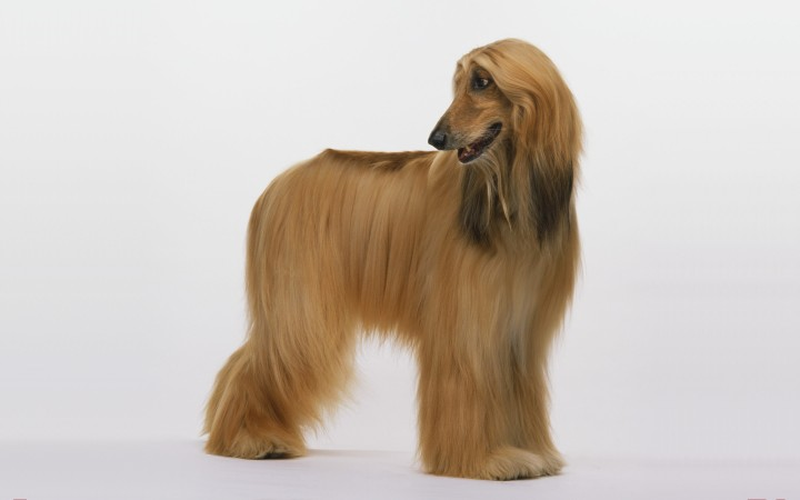 Red Afghan Hound wallpaper