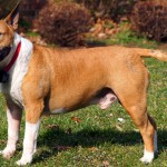 Red and white Bull Terrier