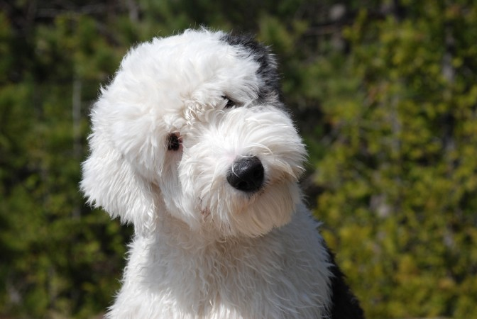 Short coat clip Old English Sheepdog