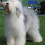 Show standard Old English Sheepdog