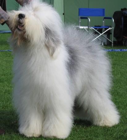 Show standard Old English Sheepdog
