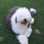 Six month old Old English Sheepdog