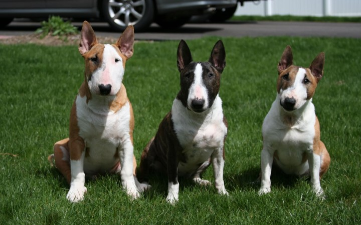 Three Bull Terriers wallpaper