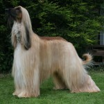Tricolor Afghan Hound