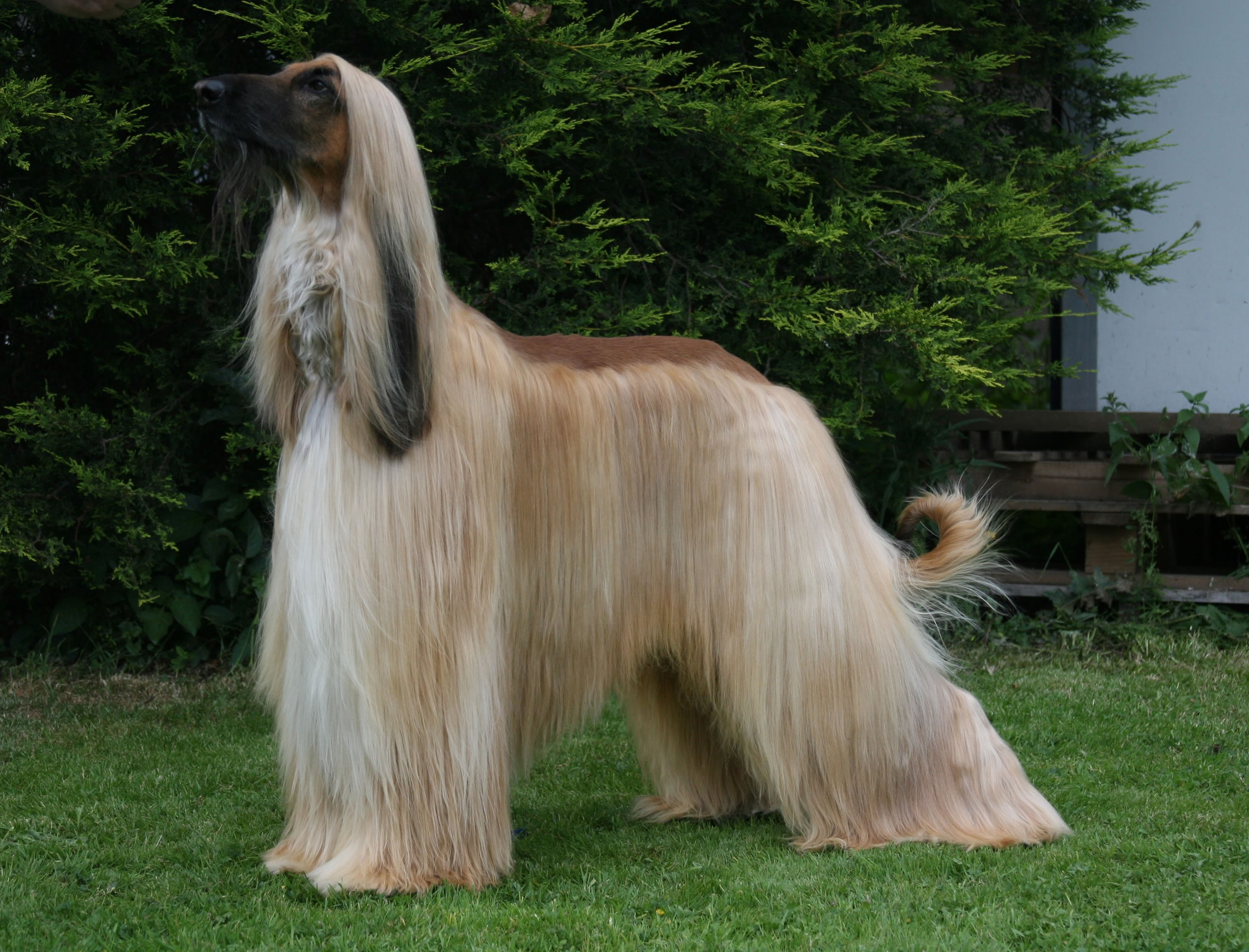 Gray And Gold Afghan Hound My Doggy Rocks