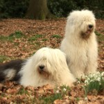 Two Old English Sheepdogs Wallpaper