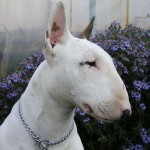 White Bull Terrier head