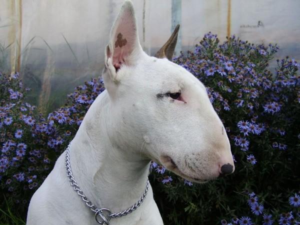 White Bull Terrier head