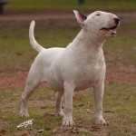 White Bull Terrier wallpaper (2)