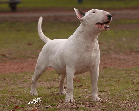 White Bull Terrier wallpaper (2)