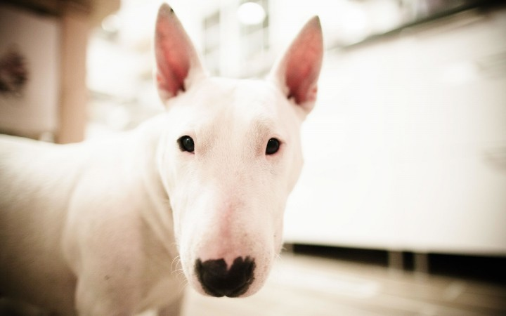 White Bull Terrier wallpaper