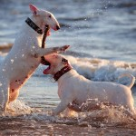 White Bull Terriers playing