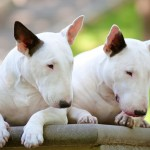 White Bull Terriers wallpaper
