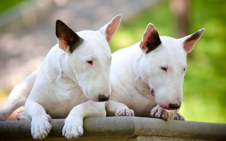 White Bull Terriers wallpaper