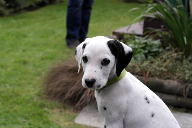 Adorable Dalmatian puppy wallpaper