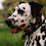 Adult Dalmatian wallpaper