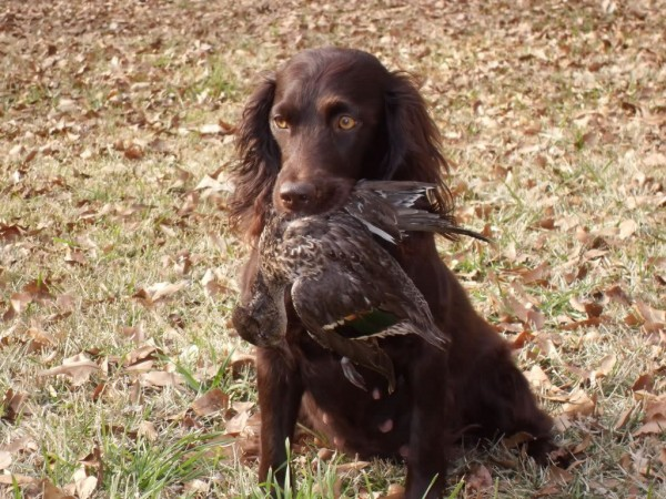 American Water Spaniel and Labrador mix