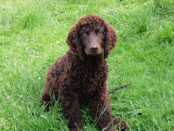 American Water Spaniel in grass