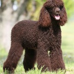 American Water Spaniel in show cut