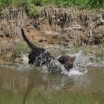 American Water Spaniel in water