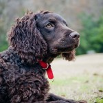 American Water Spaniel wallpaper (2)