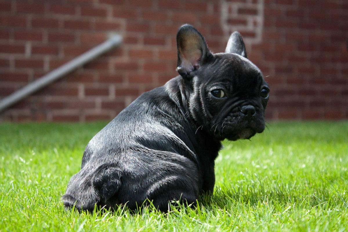 Black French Bulldog Puppy My Doggy Rocks