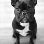 Black French Bulldog wallpaper (2)