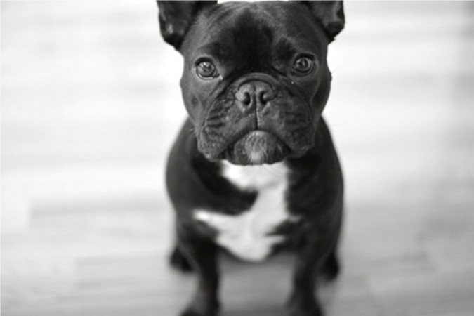 Black French Bulldog wallpaper (2)