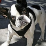 Black and white French Bulldog (2)