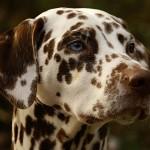 Blue eyed liver Dalmatian