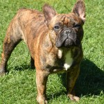 Brindle French Bulldog wallpaper