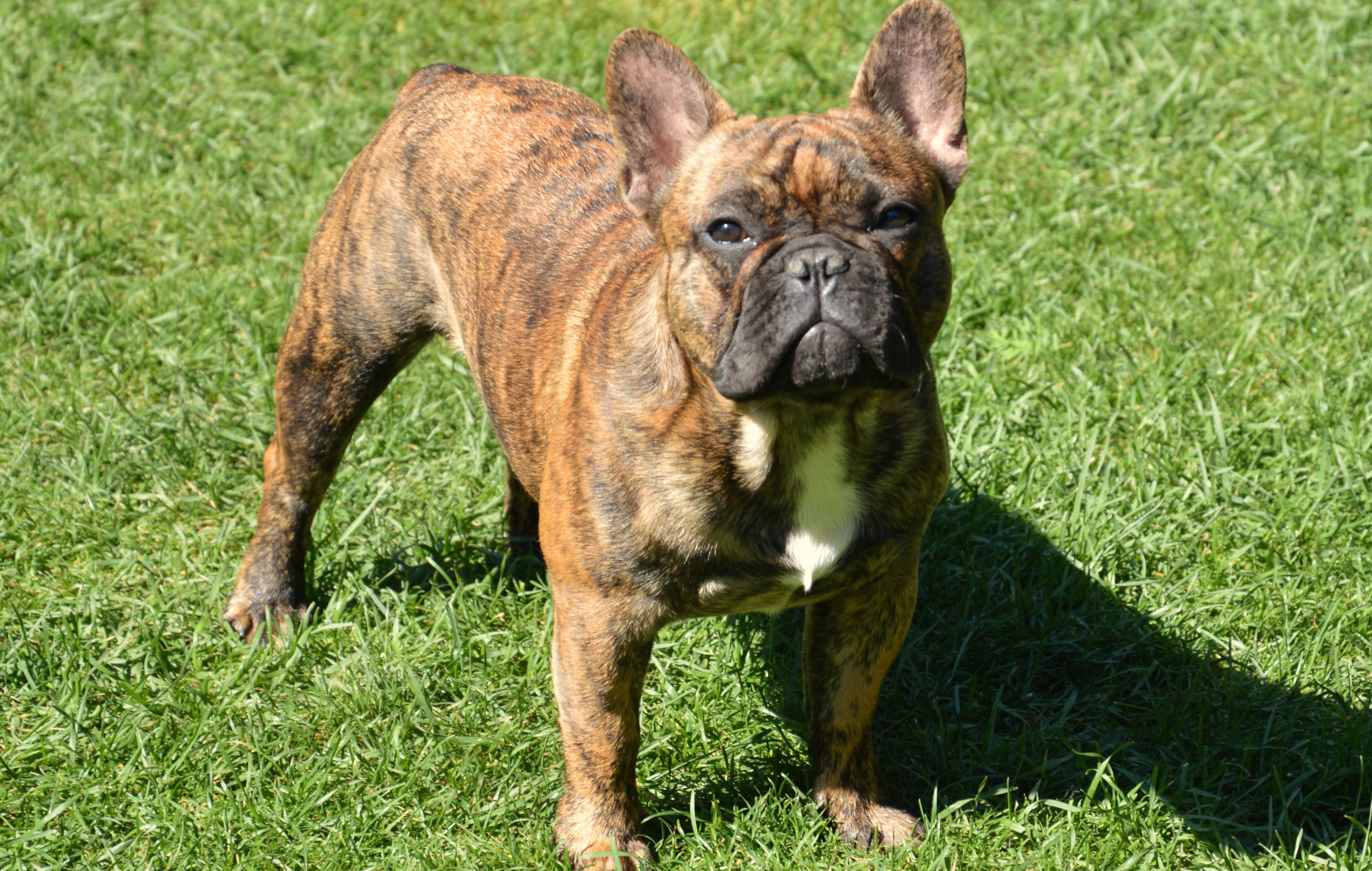French Bulldog Puppies for Sale in Ohio  DogsNow