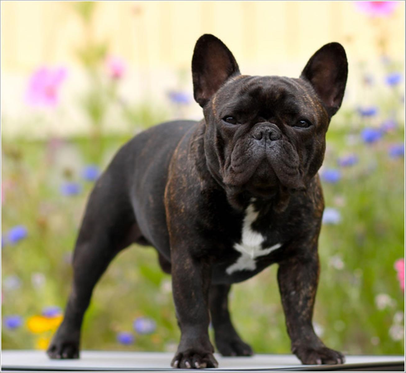 Brindle French Bulldog My Doggy Rocks